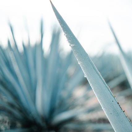 photo de La fabrication de la Tequila